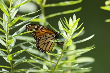 milkweed butterfly: Monarch Laying Eggs in Milkweed Stock Photo