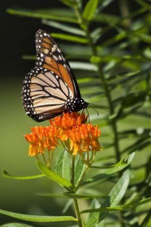 milkweed butterfly: Monarch Butterfly on Orange Milkweed