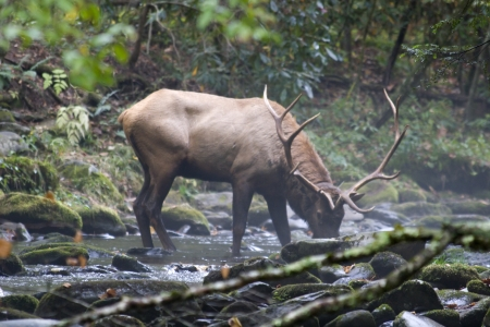 Elk Drinking Water from a Stream photo