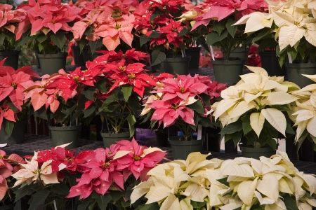 Red and White Poinsettias at a Nursery Stock Photo - 17374186