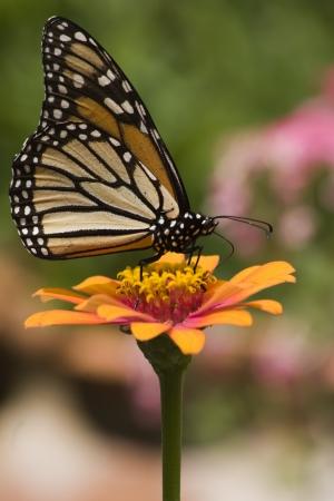 Monarch Butterfly on Orange Zinnia Stock Photo