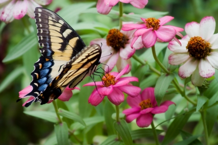 swallowtails: Tiger Swallowtail Butterfly on Colorful Zinnias Stock Photo