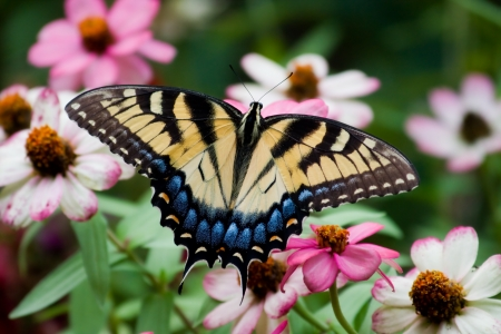 Tiger Swallowtail on Colorful Zinnias Imagens