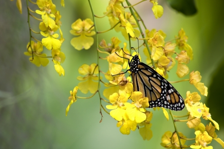 swallowtails: Yellow Orchids and Monarch Butterfly