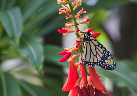 swallowtails: Monarch on Red Flowers