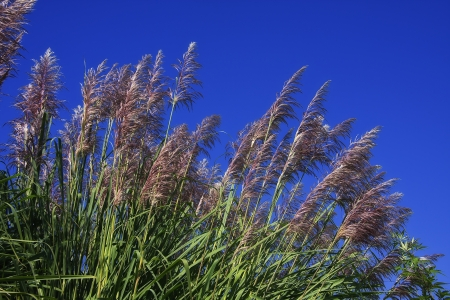 pampas: Pampas Grass