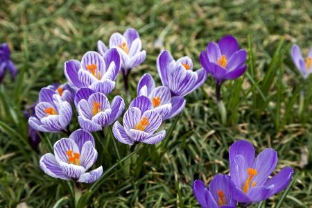 Purple and White Crocus Stock Photo - 17384422