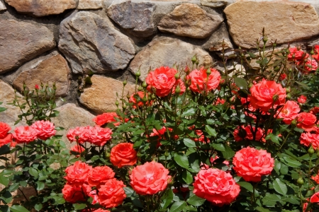 stone wall: Coral Roses Against the Stone Wall