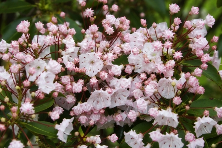 laurel mountain: Pink Mountain Laurel Stock Photo