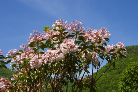 Mountain Laurel Stock Photo - 17412705