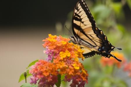 swallowtails: Tiger Swallowtail on Orange Lantana