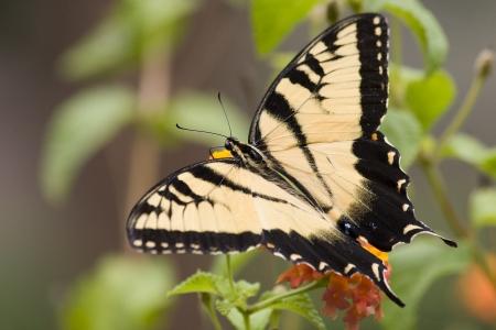 swallowtails: Swallowtail Butterfly on Orange Lantana