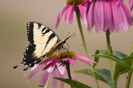 swallowtails: Butterfly on Cone Flowers