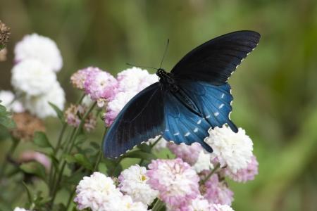 swallowtails: Black Swallowtail on Flowers
