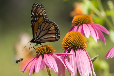 Monarch and Bee on Cone Flowers photo