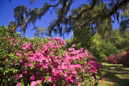 Pink Azalea Blooms and Spanish Moss