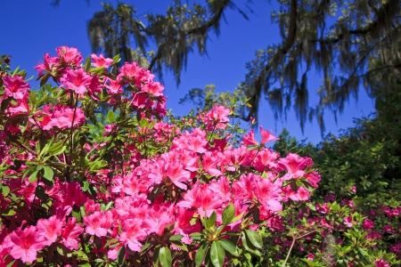 Pink Azalea Blooms photo