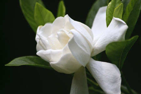 Gardenia Bloom Stock Photo - 17441481