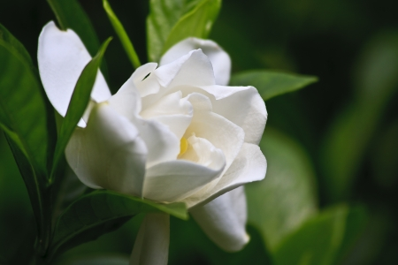 Gardenia Bloom Stock Photo - 17441478