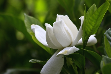 Gardenia Bloom Stock Photo - 17441488