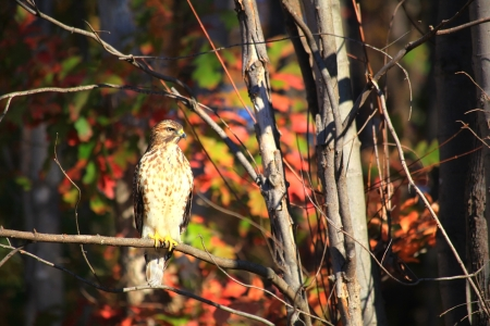 red tailed hawk: Red Tailed Hawk in a Tree