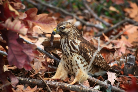 red tailed hawk: Red Tailed Hawk Eating an Anole