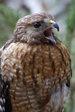 shouldered: Red Shouldered Hawk Squawking