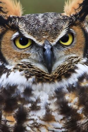 Great Horned Owl Closeup Stock Photo