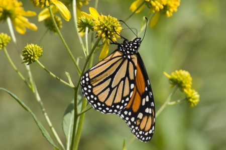 Monarch on Yellow Wildflowers Stock Photo - 17510402