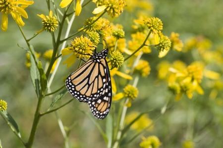 Monarch on Yellow Wildflowers Stock Photo - 17510405