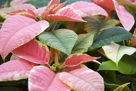 Pink Poinsettias Stock Photo - 17510403