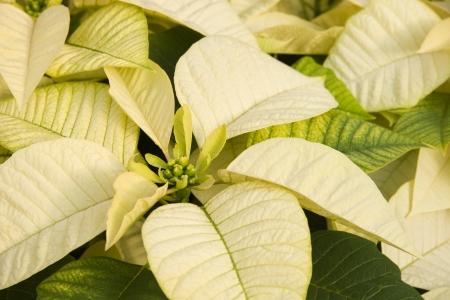 White Poinsettias Stock Photo - 17510404