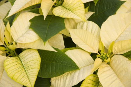 White Poinsettias Stock Photo - 17510407