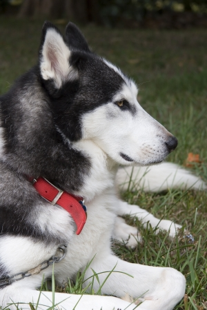 Pretty Husky Stock Photo - 17510443