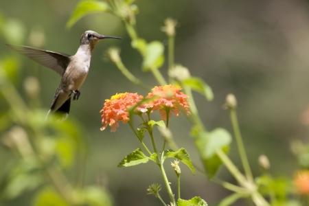 lantana: Hummingbird at Lantana