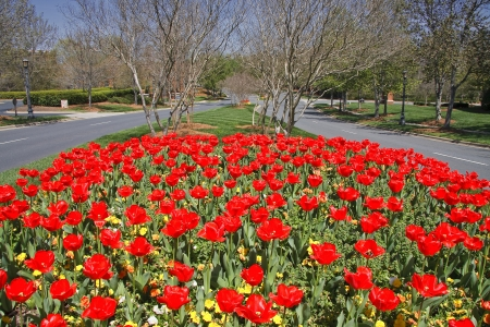 Tulips Blooming in a Median Stock Photo - 17545734
