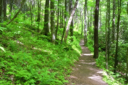 wooded path: Forest Path
