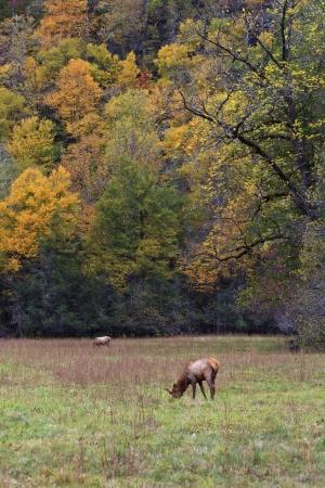 Elk in the Field in Cataloochee Mountains Stock Photo