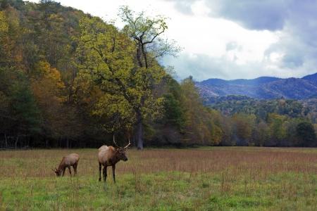 Elk in the Field in Cataloochee