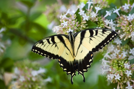 swallowtails: Swallowtail Butterfly on Chinese Abelia