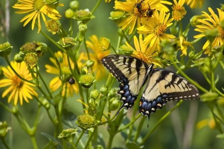 swallowtails: Butterfly on Yellow Wildflowers