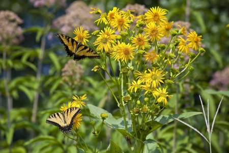 swallowtails: Butterflies on Yellow Wildflowers Stock Photo