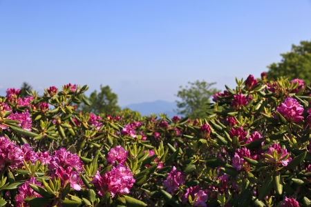 appalachian trail: Pink Rhododendron Stock Photo
