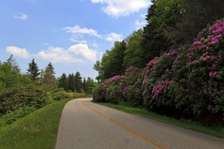 Rhododendron Blooming on the Blue Ridge Parkway
