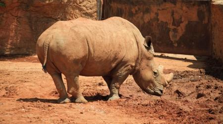 muddy: Muddy Rhinoceros
