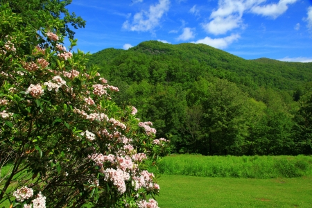 laurel mountain: Pink Laurel in Bloom in the Mountains of NC Stock Photo