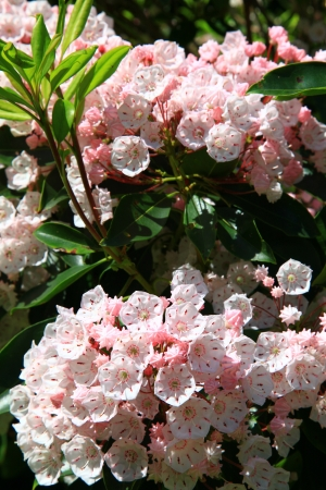 laurel mountain: Mountain Laurel in Bloom