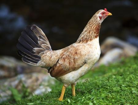 leghorn: Leghorn Chicken Stock Photo