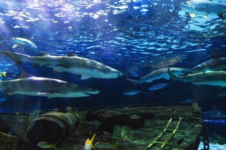 Black Tip Sharks Stock Photo - 18029744