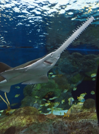 coral reef underwater: Sawfish or the Carpenter Shark Stock Photo